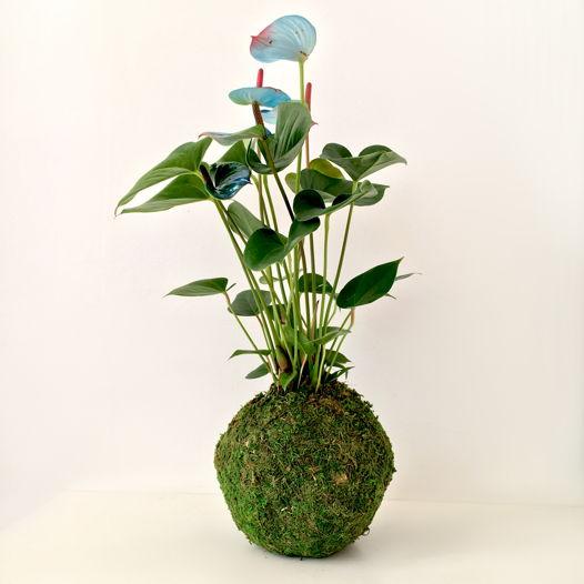 "Кокедама с растением Антуриум Андрианум Пикассо ""Koka Pica"""