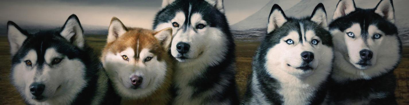 Экскурсия в питомник ездовых собак хаски