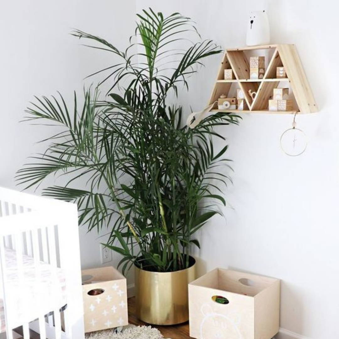 Indoor plant with golden pot for nursery