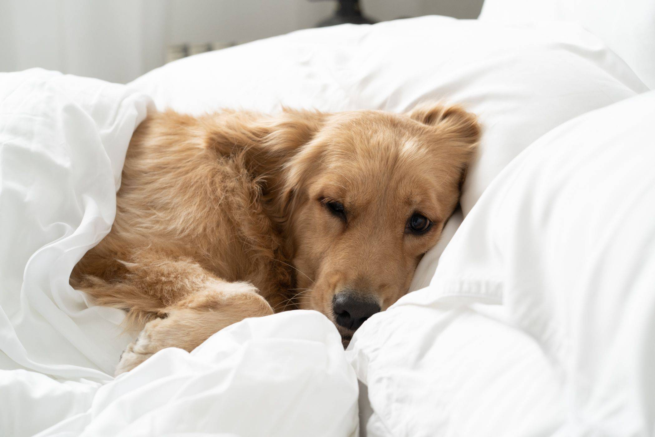 Dog laying on bed, under a blanket