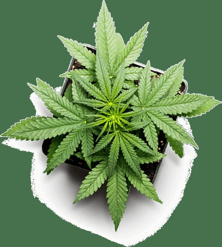 green hemp plant