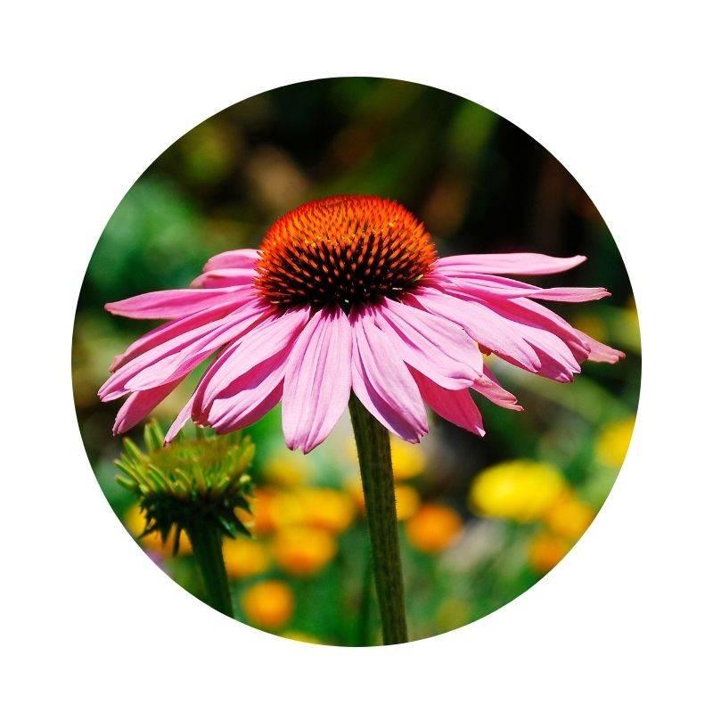 PURPUR-SONNENHUT Echinacea purpurea Heilpflanzen Heilkräuter Lexikon Heilwirkung Wirkung