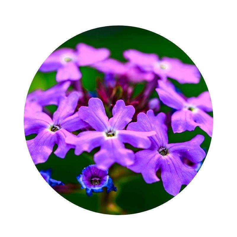 EISENKRAUT Verbena officinalis Heilpflanzen Heilkräuter Lexikon Heilwirkung Wirkung