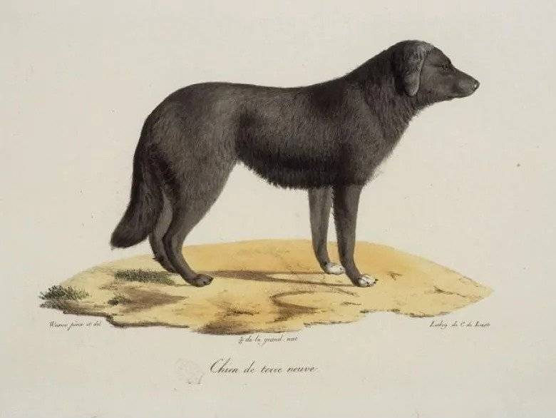 ancestor of labrador retrievers