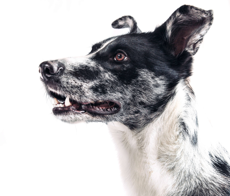 endoskopische Kastration Hund