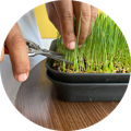 what is microgreens