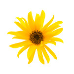 Arnica for Pain Relief
