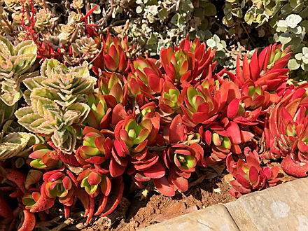 South Africa - Crassula_campfire.JPG