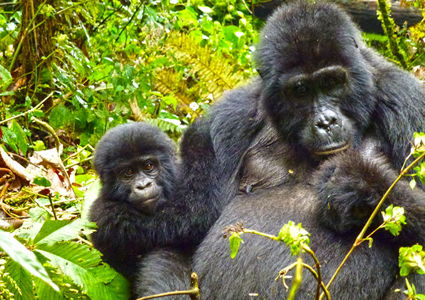 trekking-with-mountain-gorillas