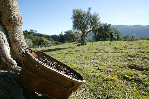Pollensa - Olive harvest at Can Pedruxella posession Mallorca North
