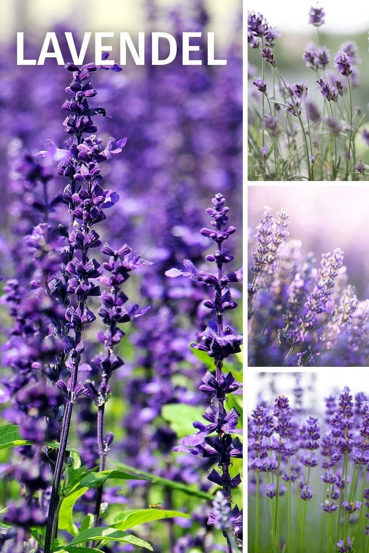 Lavendel hilft bei Blähungen, Bluthochdruck, Depression, Einschlafstörungen, Kopfschmerzen, nervöse Unruhe, Magenkrämpfe, Schlaflosigkeit, Stress, Völlegefühl, Zahnfleischentzündungen