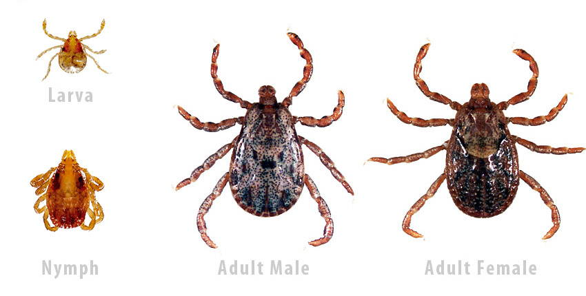 pacific coast tick identification