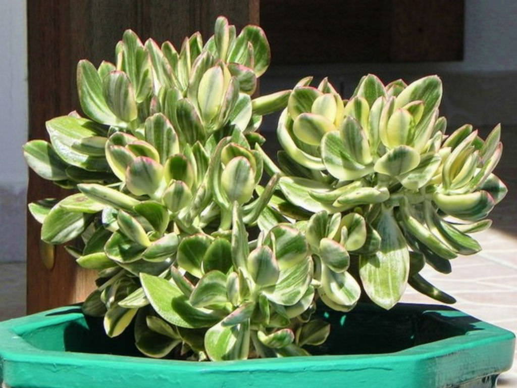 Succulent types succulent of the month club subscription variegated jade mightylinksfo