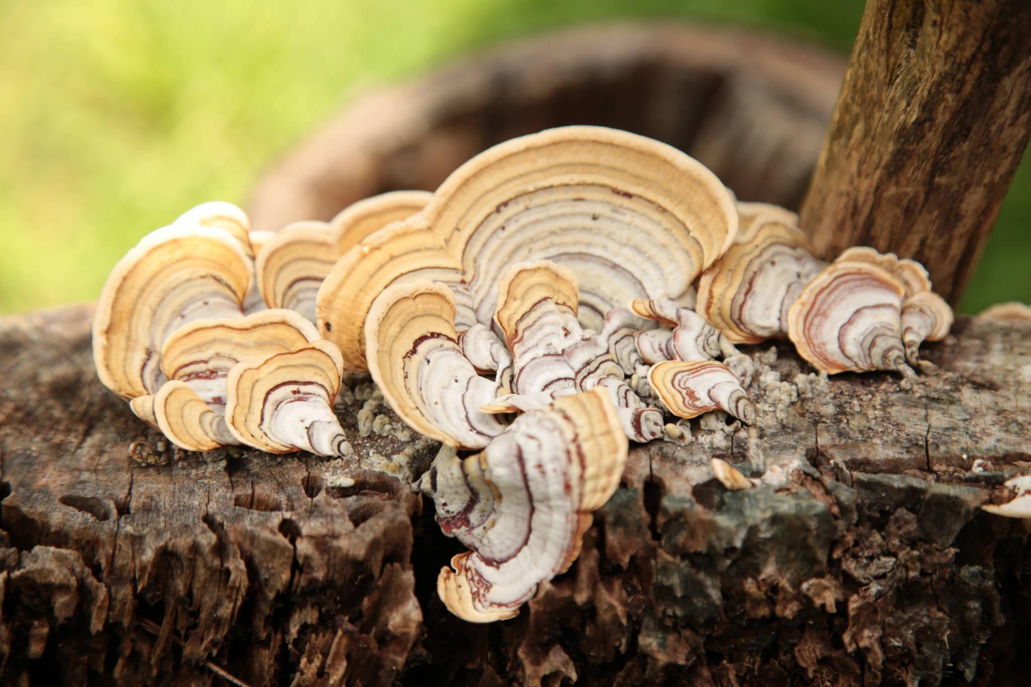 Turkey Tail mushroom growing on tree