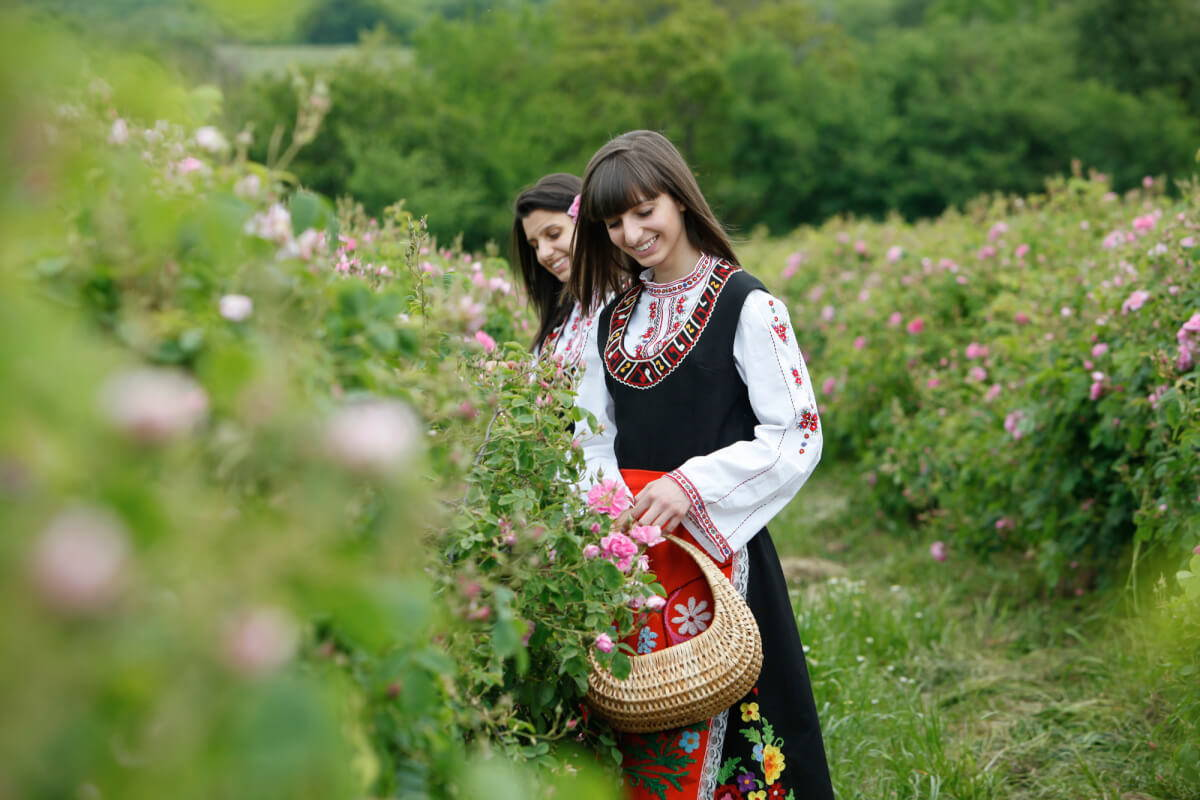 Bulgarian woman collecting roses