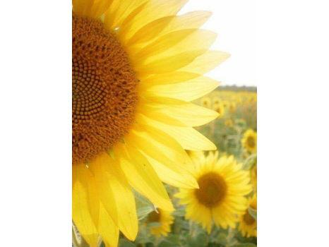 Savannah Sunflower Gift Basket