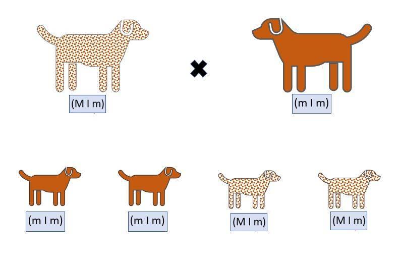 Grafik: Vererbung des Merle-Gendefekts zwischen mischerbigem und Merle-freiem Hund