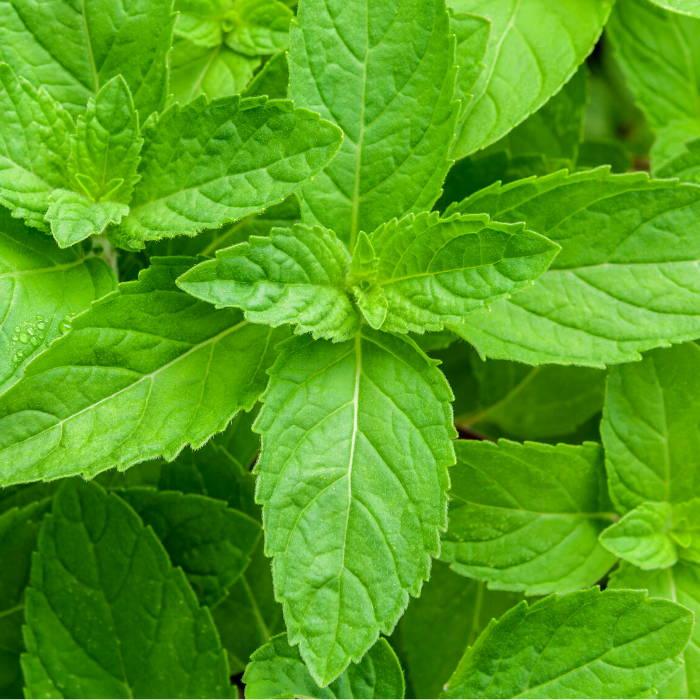 Peppermint Leaf oil