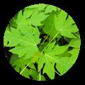 papaya herbal medicine | Dendera Naturally