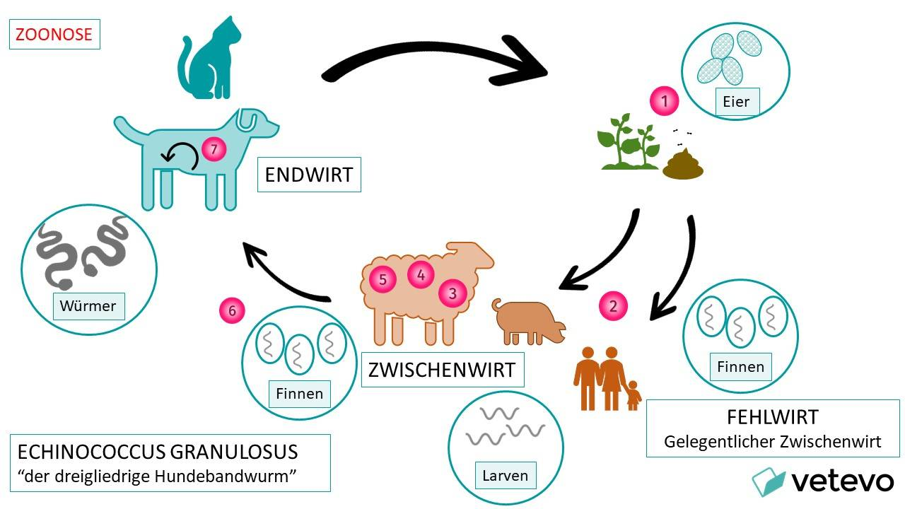 """Grafik - Übertragung von Echinococcus granulosus - """"der dreigliedrige Hundebandwurm"""""""