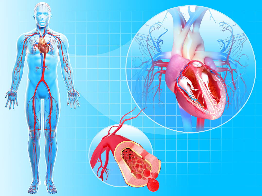 Diagram of blood circulation in the human body