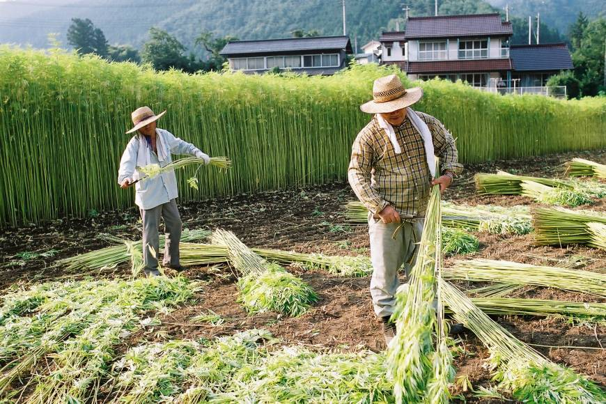 Japanese hemp farmers in their field
