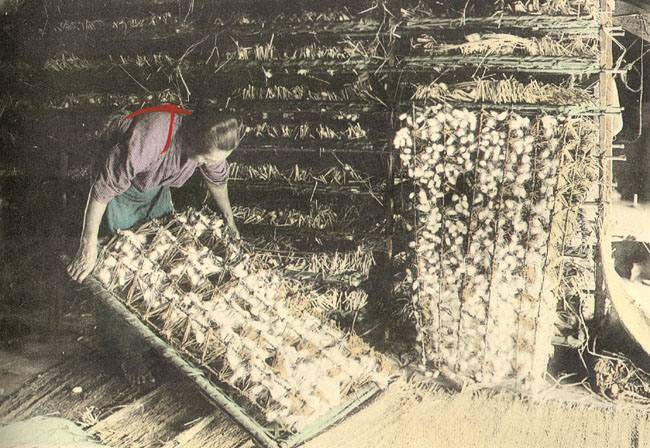 silk worker inspection formed silkworm cocoons