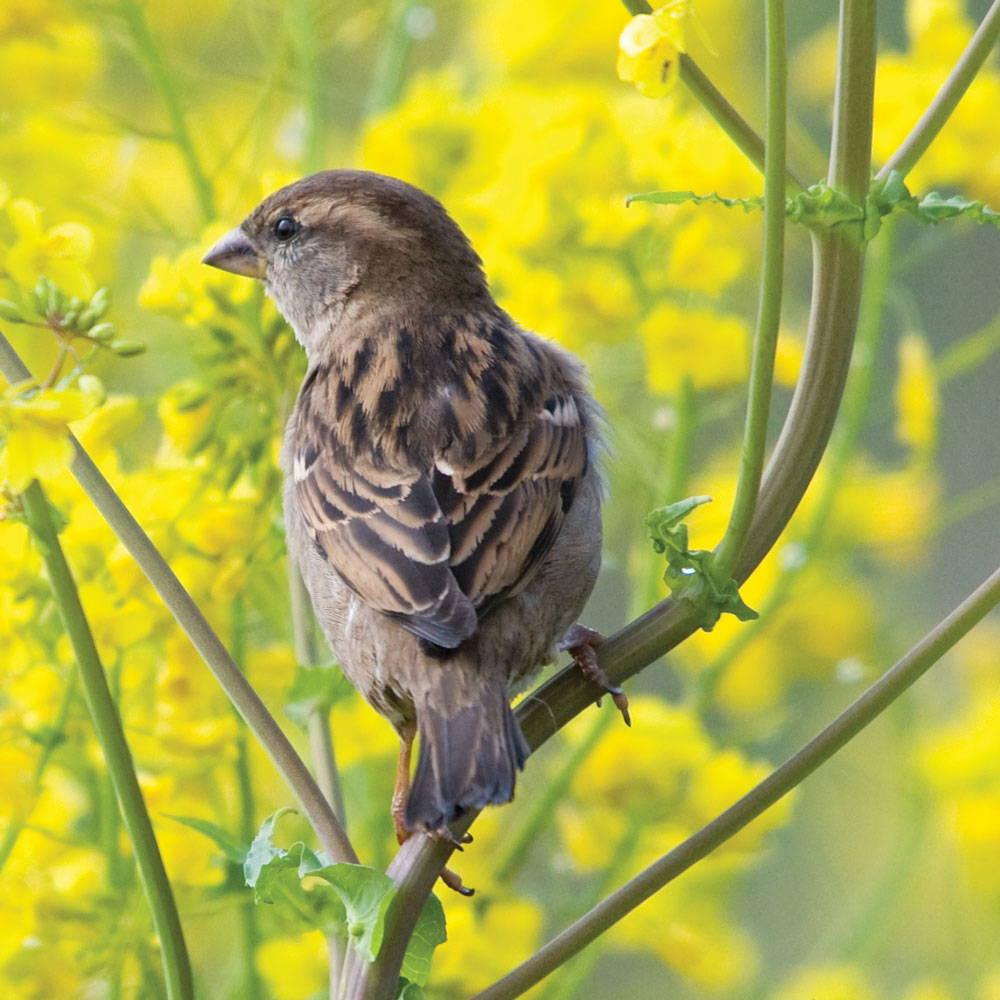 Topflite House Sparrow