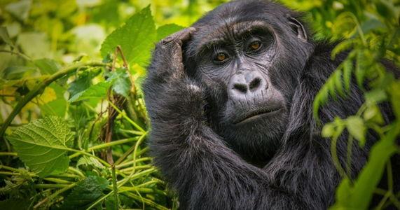 free-gorilla-permits