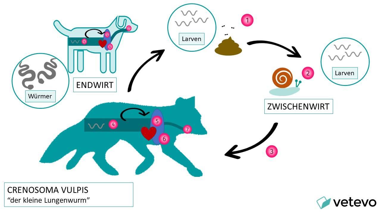 Grafik - Lebensweg des Fuchs-Lungenwurms