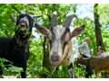 Private Meet & Bleat with the Prospect Park Goats
