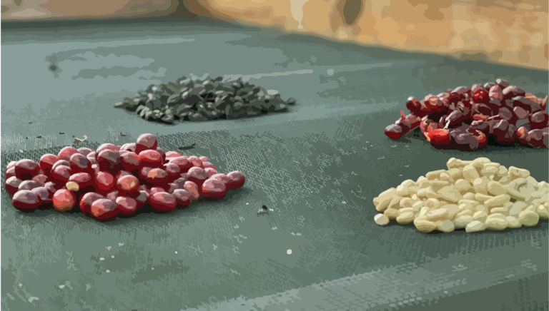 Coffee cherries on drying bed