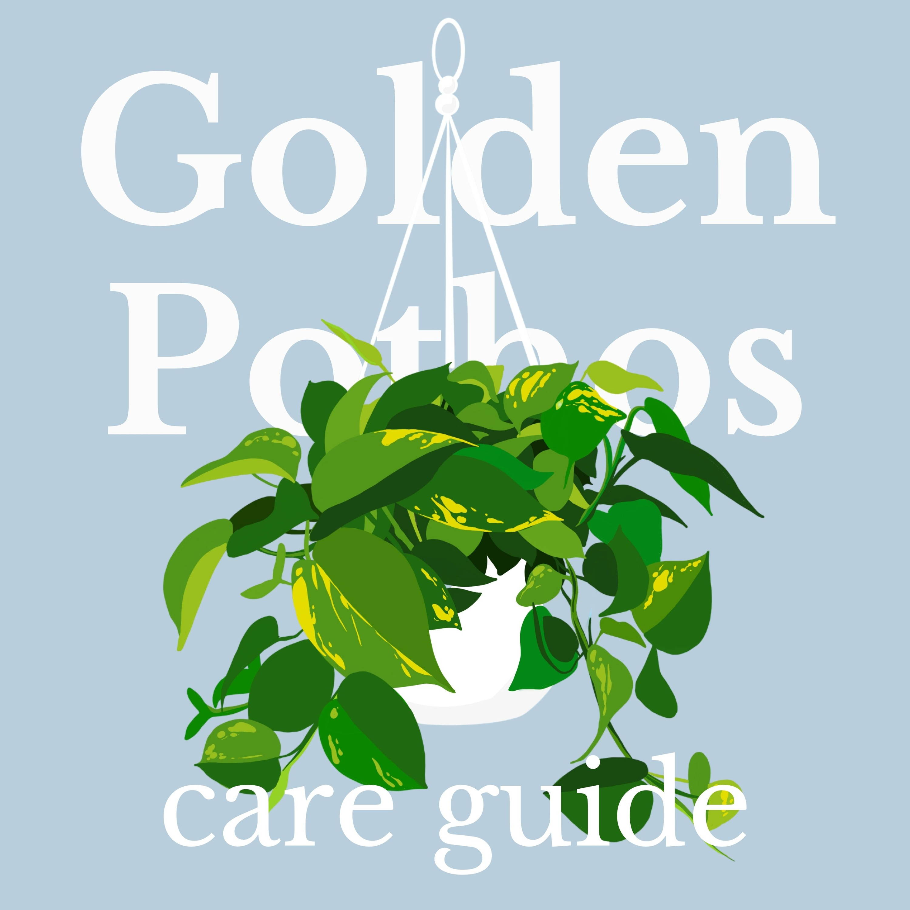 Drawing of golden pothos