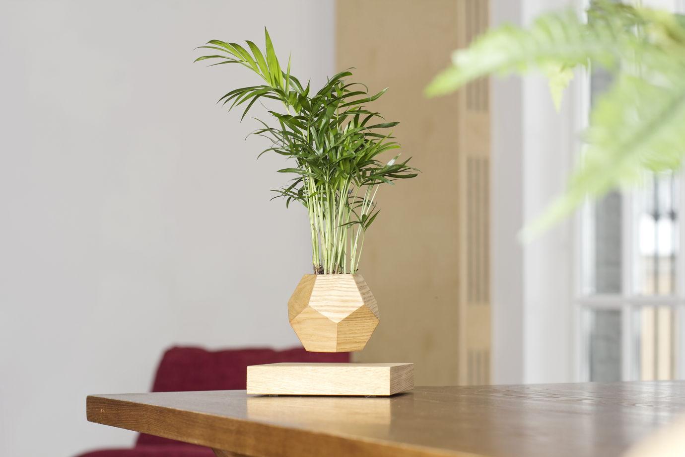 Левитирующее растение Wood Хамедорея светлый