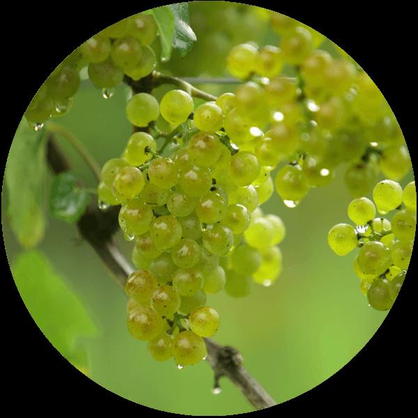 Weingut Trummer Grundpfeiler 3: Trauben an der Rebe