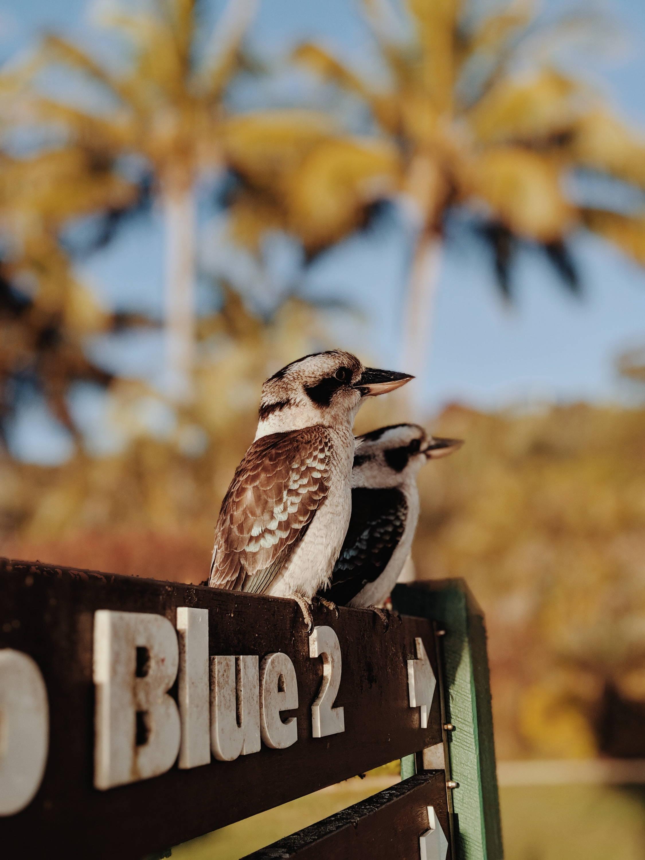 Kookaburras sitting on sign that says blue 2