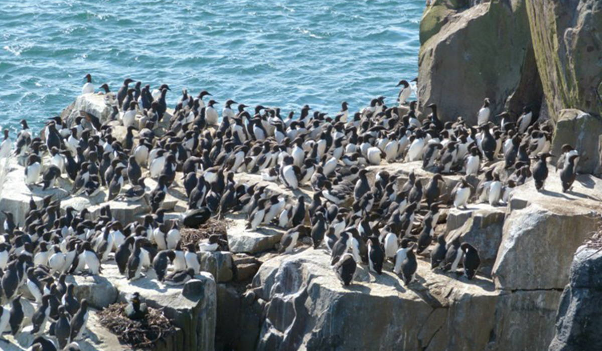 Guillemots on rocks