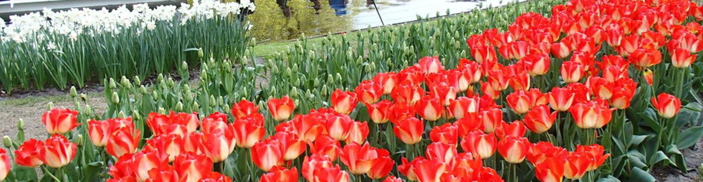 Цветочный аукцион Алсмер и парк Кеукенхоф 2015 (20/03-17/05)