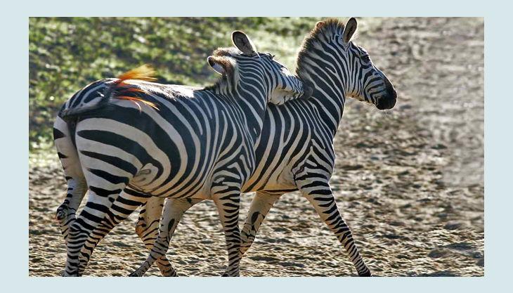 zoom erlebniswelt zebras