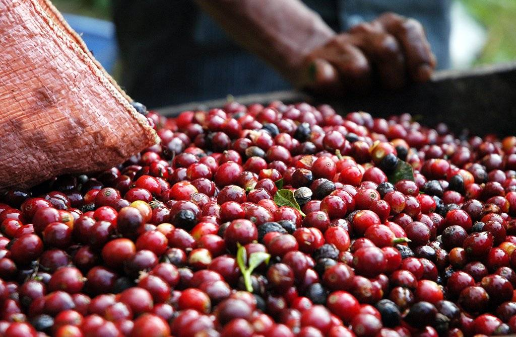 Bright Red Wet Coffee Cherries being poured out of a bag with a man's hands in the background