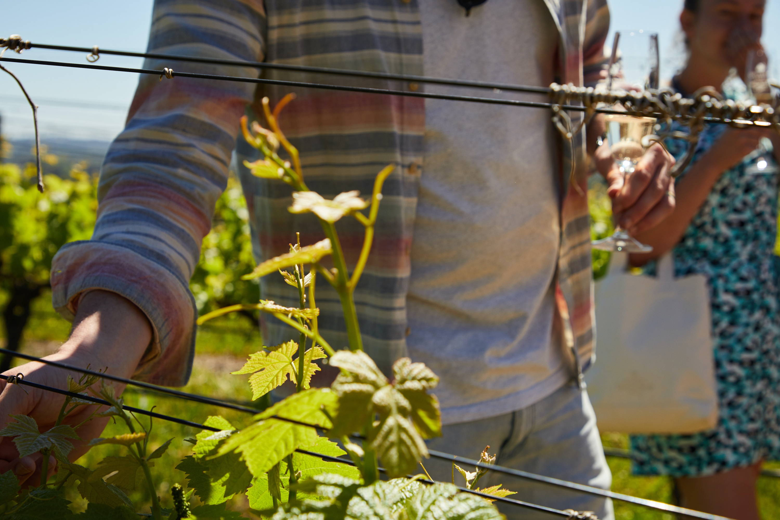 A hard Sauvignon Blanc grape vine being inspected by a man during wine tasting.