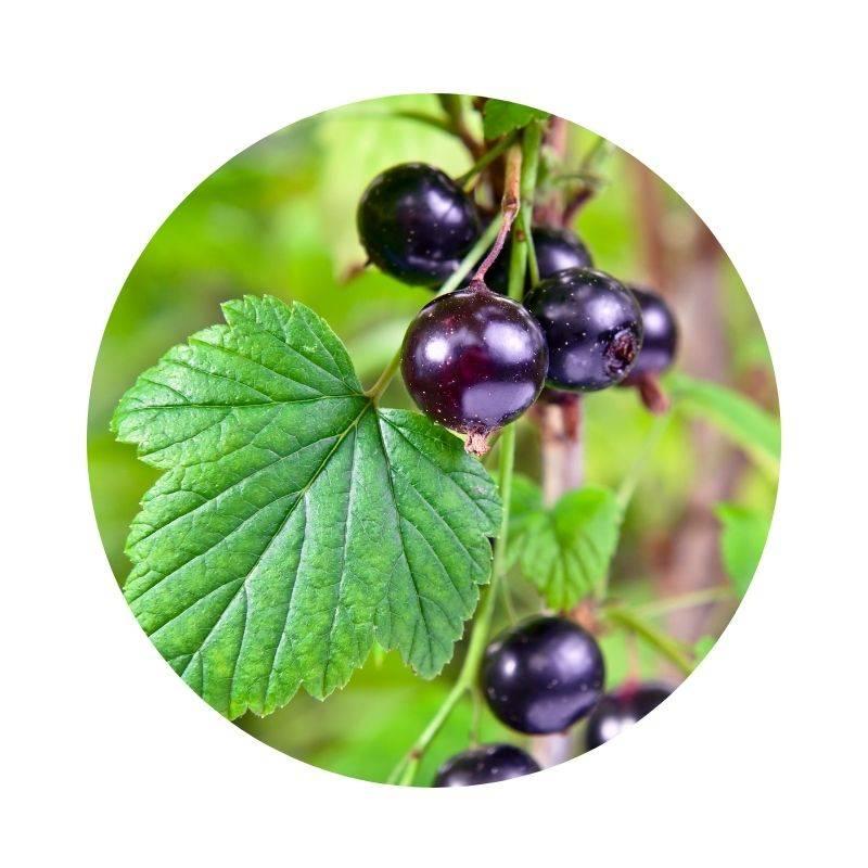 SCHWARZE JOHANNISBEERE Ribes nigrum Heilpflanzen Heilkräuter Lexikon Heilwirkung Wirkung