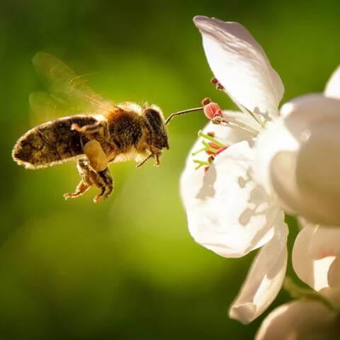 pollen et rhume des foins