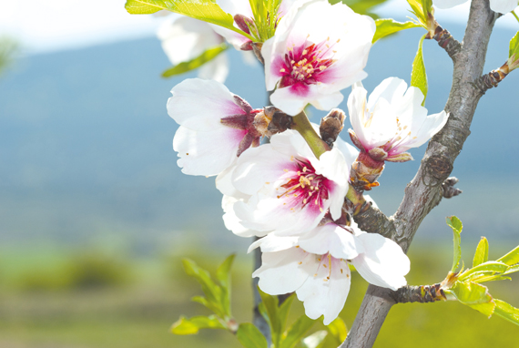 Llucmajor, Mallorca - Almond blossoms