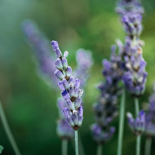 image of lavender plant
