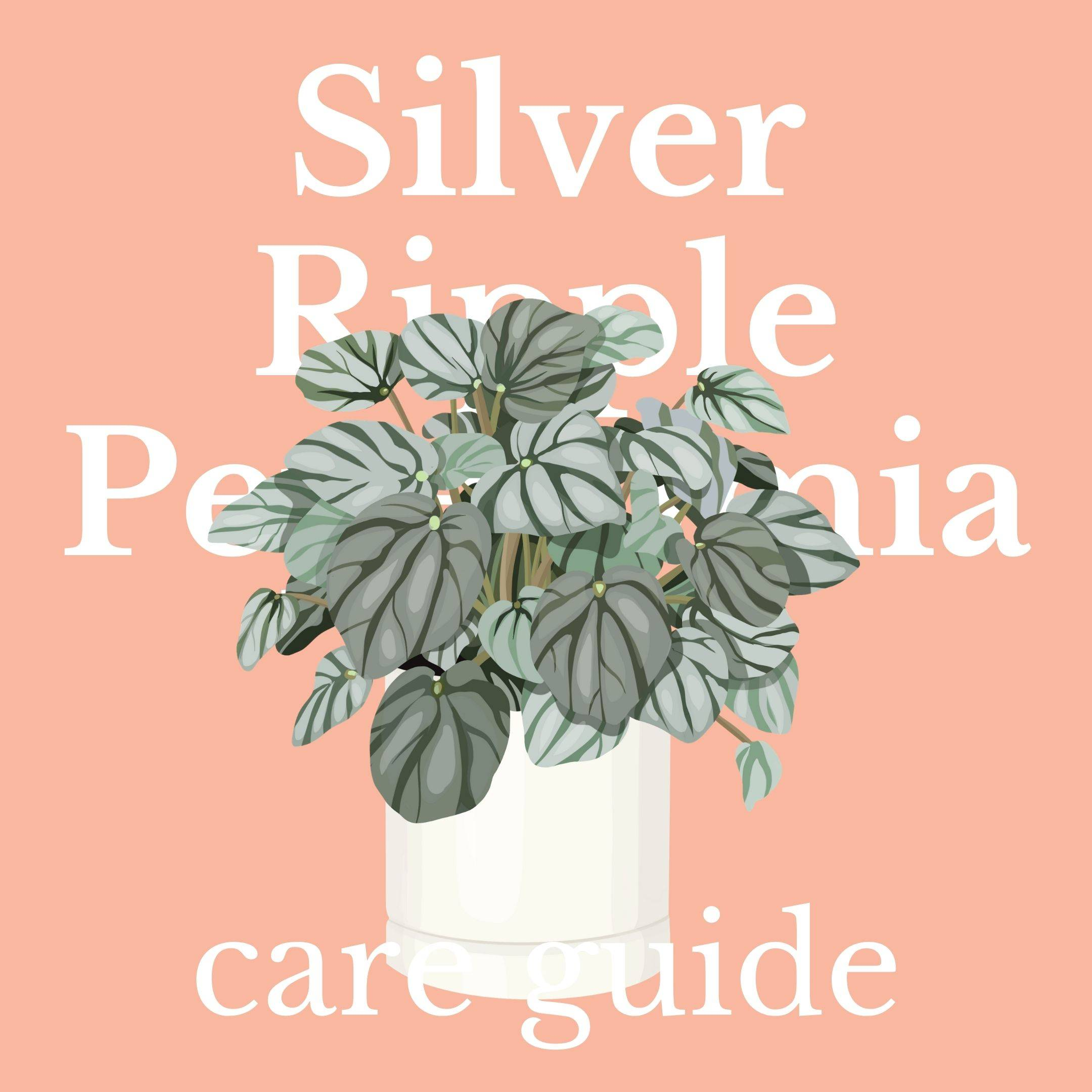Drawing of silver ripple peperomia