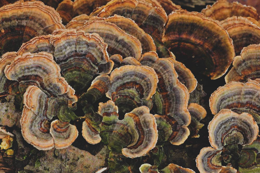 Turkey Tail, medicinal mushroom for digestion and gut health