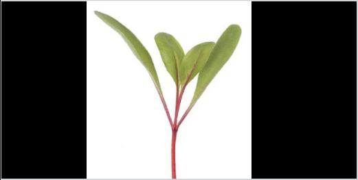 Beetroot Microgreens