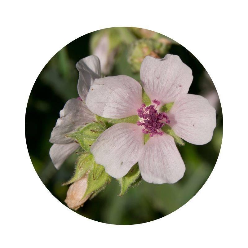 EIBISCH Althaea officinalis Heilpflanzen Heilkräuter Lexikon Heilwirkung Wirkung