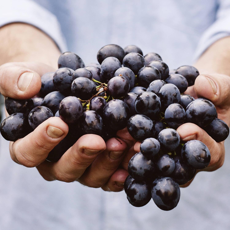 Bundle of freshly picked grapes